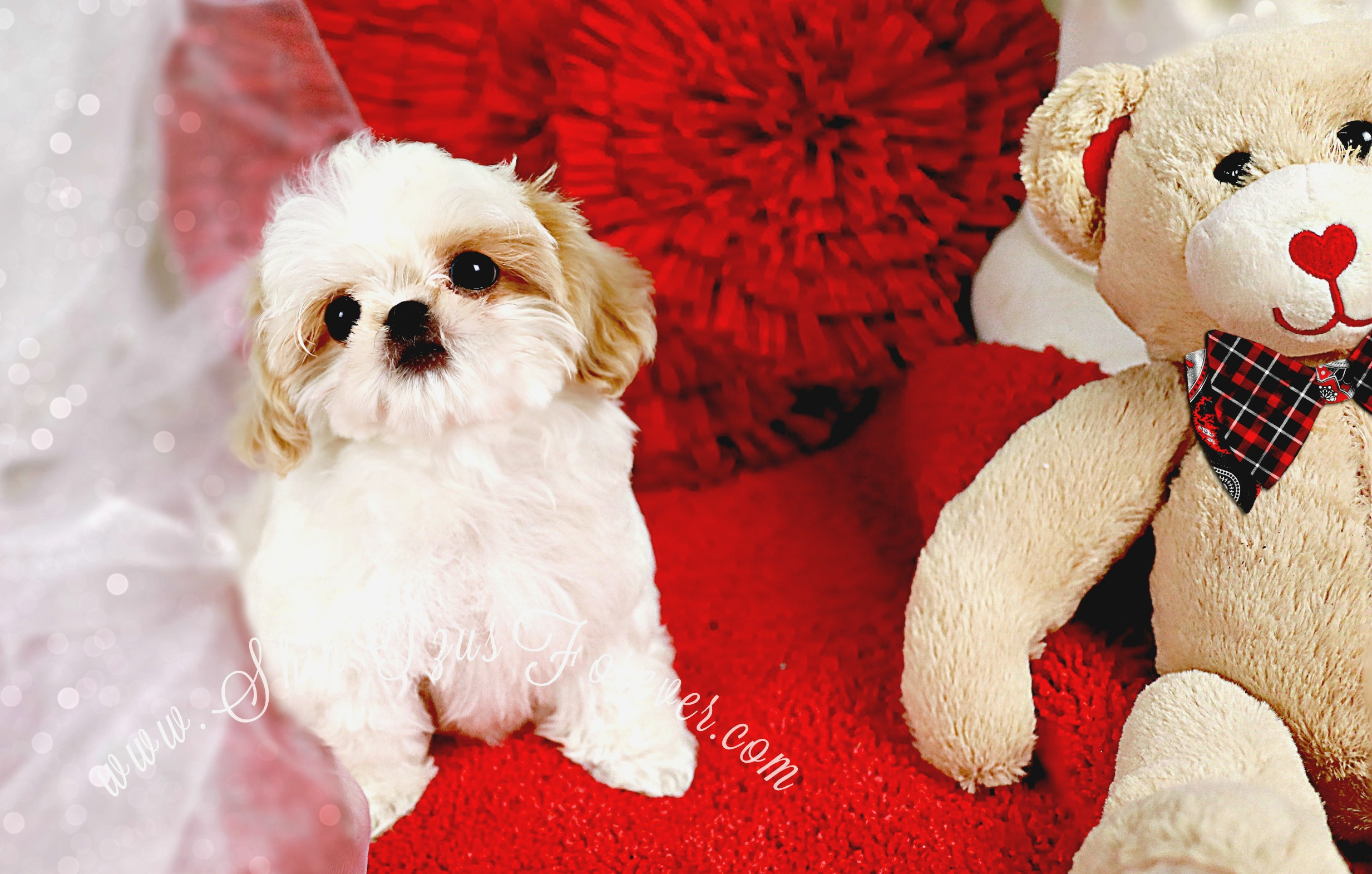 Imperial Shih Tzu, Imperial Shih Tzu for sale, Imperial Shih Tzu puppies, Imperial Shih Tzu puppies for sale, Imperial Shih Tzu California, Imperial Shih Tzu Texas, Imperial Shih Tzu Florida, Imperial Shih Tzu Louisiana, Imperial Shih Tzu New York, Imperial Shih Tzu Pa.