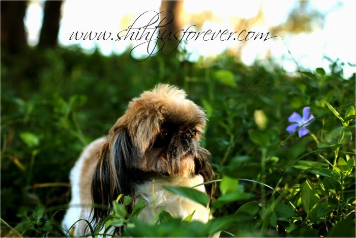 Contact ShihTzusForever for Imperial Shih Tzu and Teacup