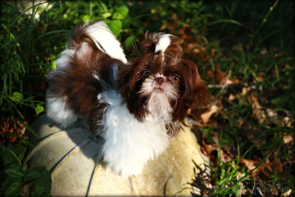 Chocolate and White parti Imperial Shih Tzu