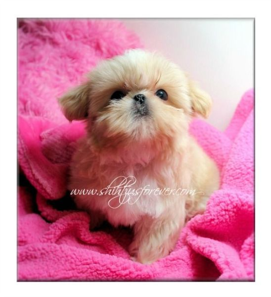 Cream Imperial Shih Tzu puppies