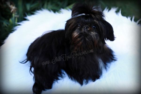 Black Teacup Shih Tzu