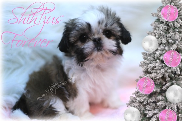 Gold and White Parti Imperial Shih Tzu puppy