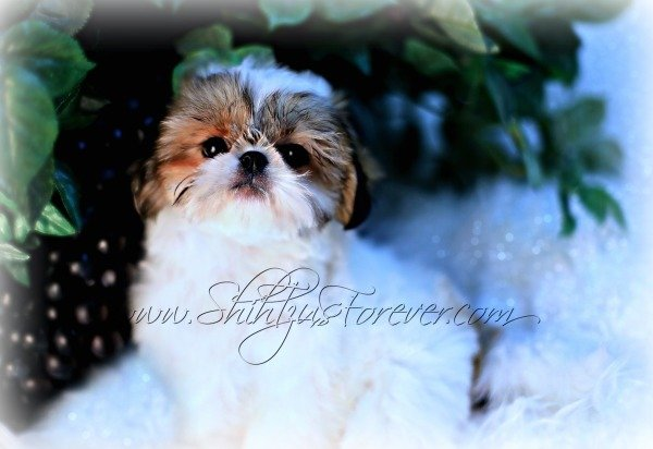 Gold and White Imperial Shih Tzu puppies