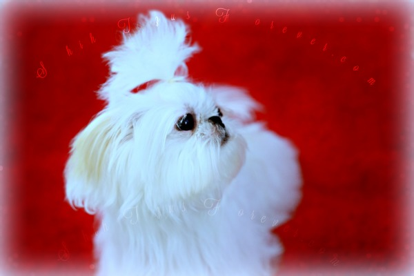 White Teacup Shih Tzu, White Teacup Shih Tzu puppies, White Micro Shih Tzu puppies
